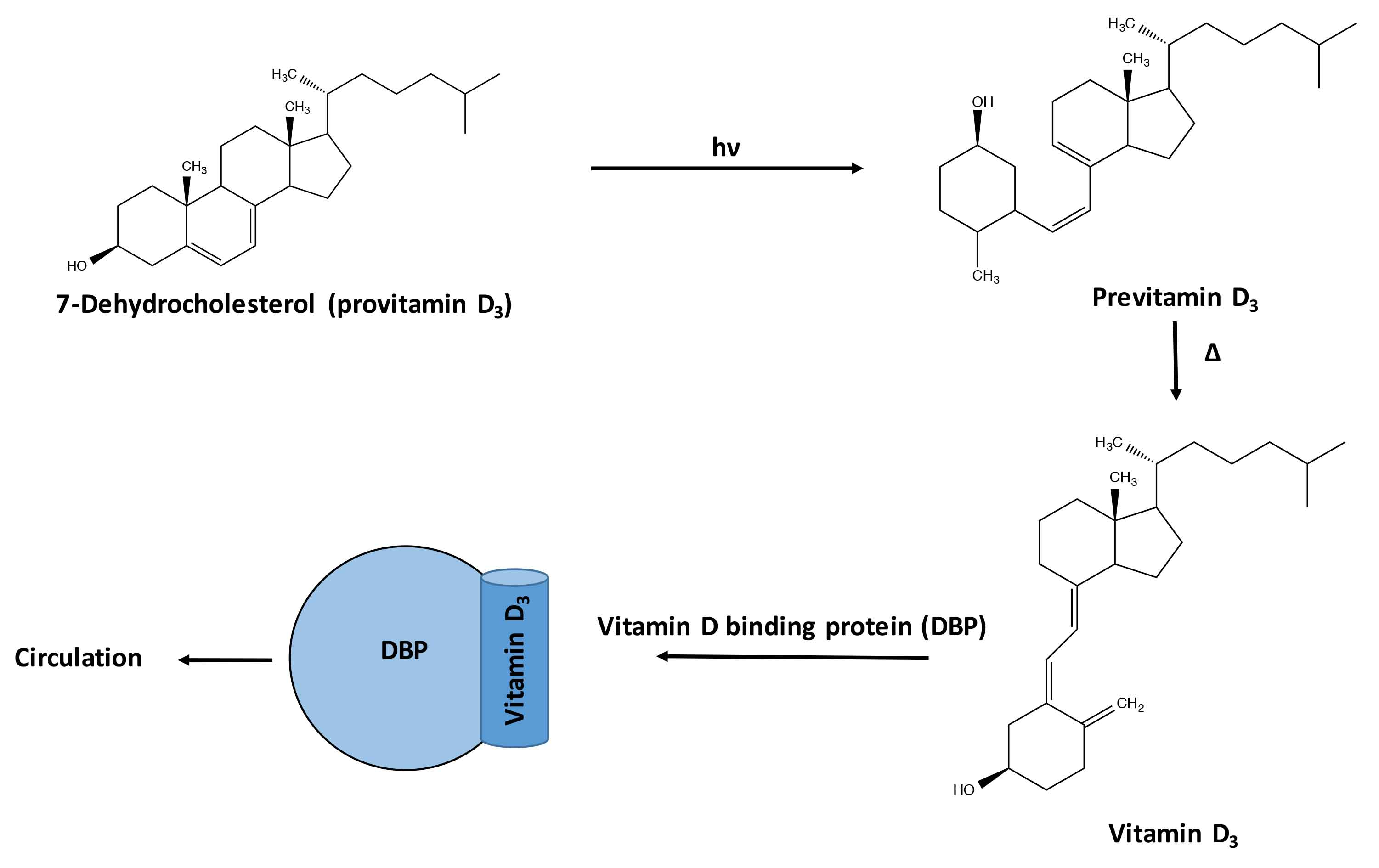 The cosmetic chemist molecular structures and schematic of the conversion of provitamin d3 to vitamin d3 ccuart